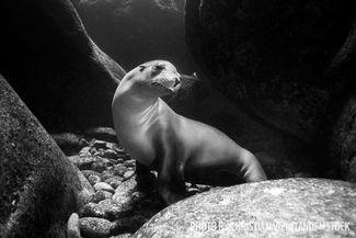 sea lion baja california sea of cortez