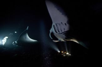 manta ray night dive Kona Hawaii