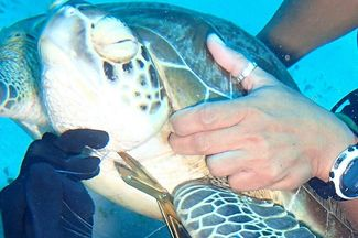 divers save sea turtle