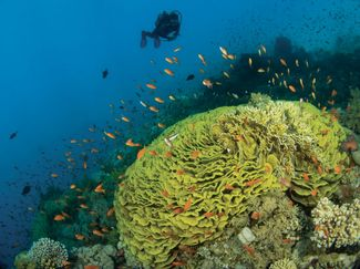 Lettuce Coral and Diver