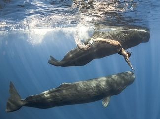 freediver sperm whales sri lanka