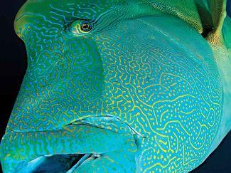 napoleon wrasse scuba diving