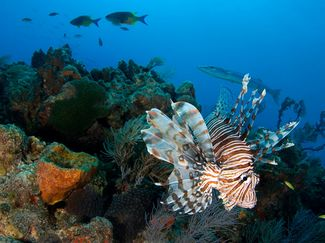 Invasive lionfish on the coral reefs of the Caribbean