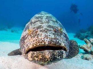 Goliath grouper controversy