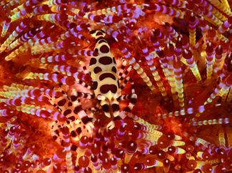 Coleman Shrimp Underwater Photography