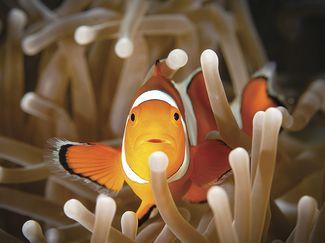 clownfish sex change
