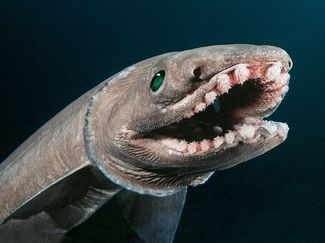 Frill shark bizarre strange weird ocean creature