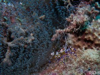 Shrimp St. Lucia