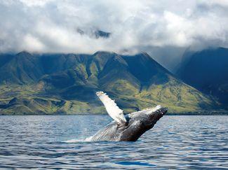 Humpback Maui