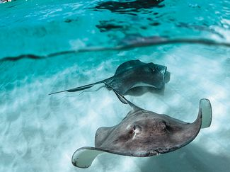 grand cayman stingray snorkeling