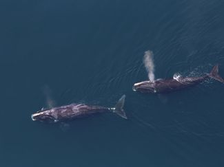 Two right whales blowing