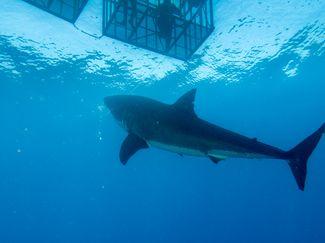 Australia great white shark cage diving