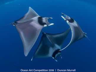 ocean art 2018 contest winner devil ray