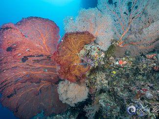 lion fish seen dwarfed by Gorgonian sea fan corals