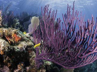 florida keys coral