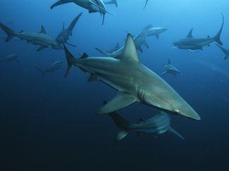 shoal of sharks