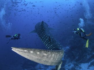 whale shark and scuba divers