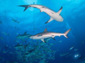 shark diving Aqua Cat
