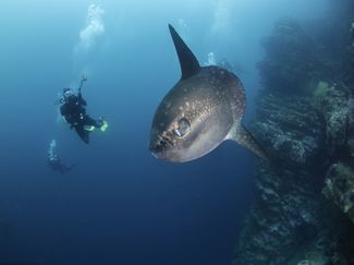 Mola mola swimming bad