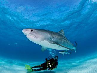 tiger shark and scuba diver