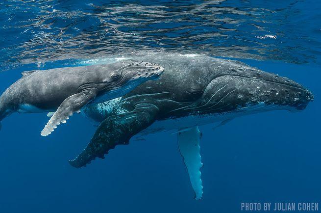 Humpbacks — Tonga