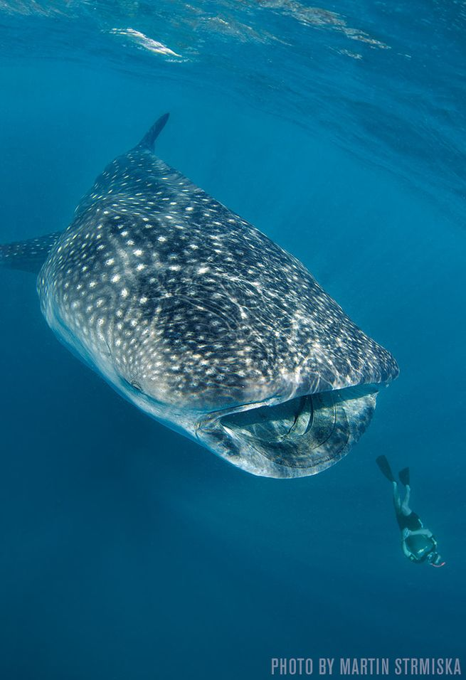 Whale Sharks — Isla Mujeres, Mexico