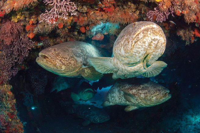 goliath grouper facts