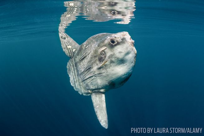 13 facts about sunfish mola molas sport diver for The mola mola fish