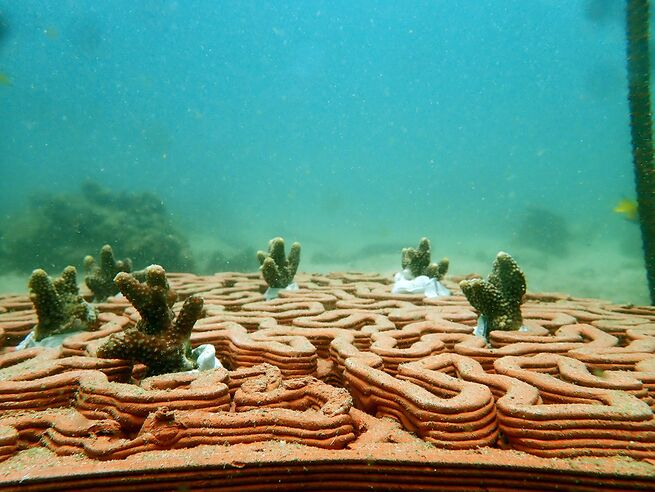 Newly planted coral pokes out of a terracotta tile 3D printed to function as an artificial reef.