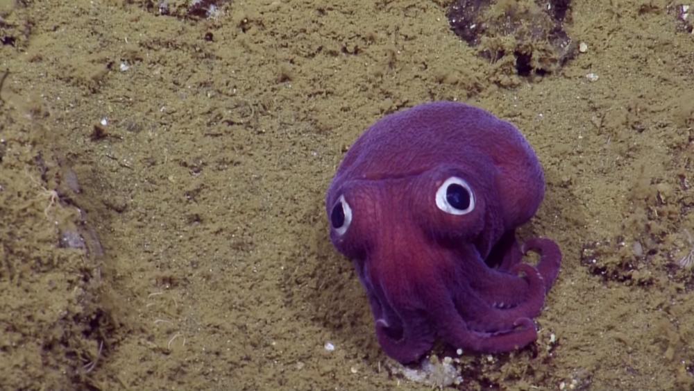 Cute stubby squid found in deep water off California
