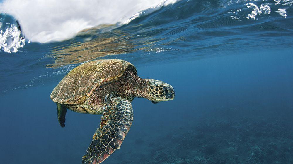 sea turtle hawaii maui