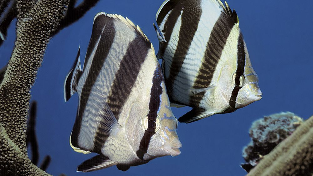 butterflyfish facts