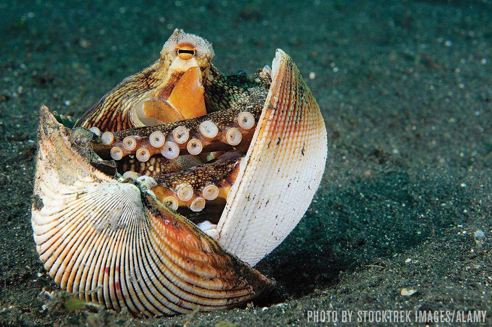 Octopus hiding in shell