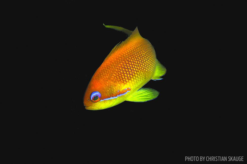 anthias fish photo