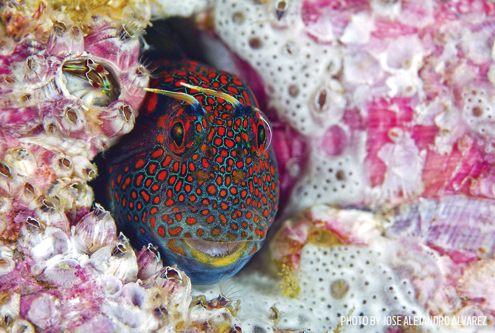 blenny red spotted barnacle blenny
