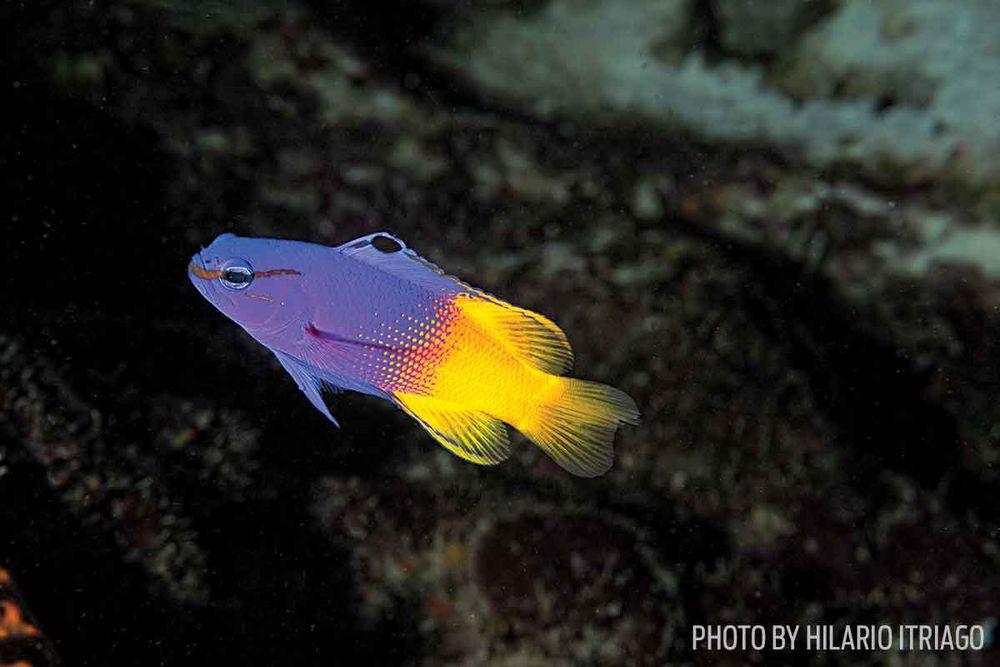 fairy basslet LA laker fish photo