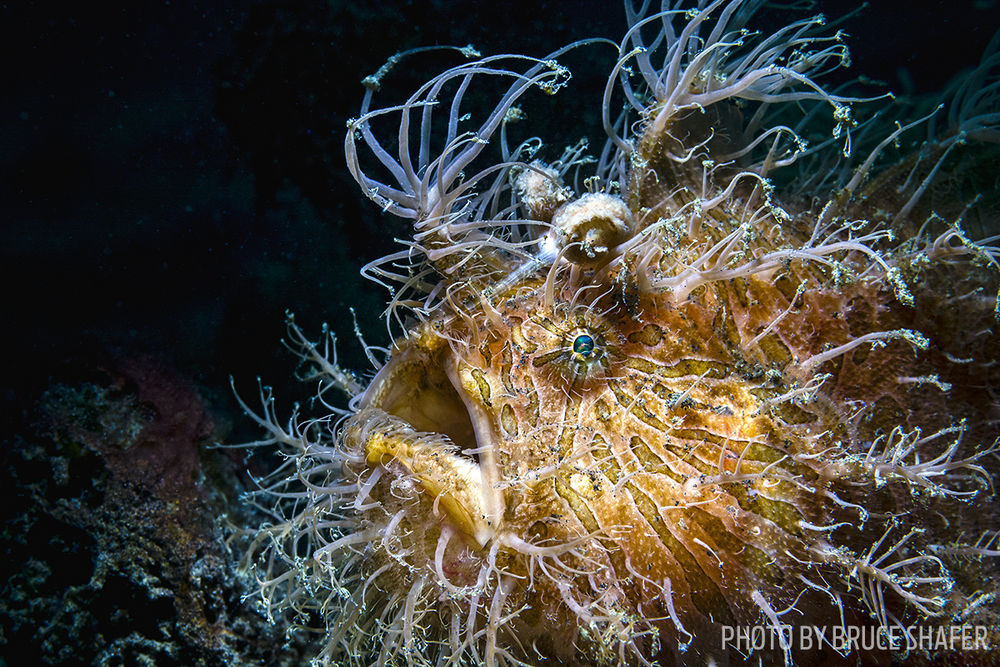 striated frogfish photo