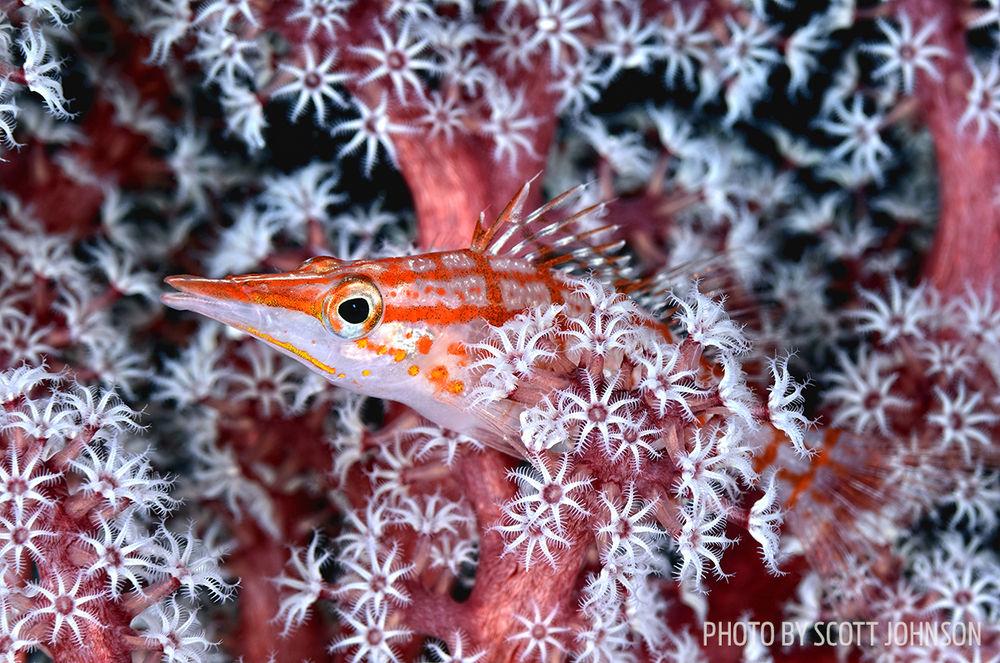 hawkfish photo