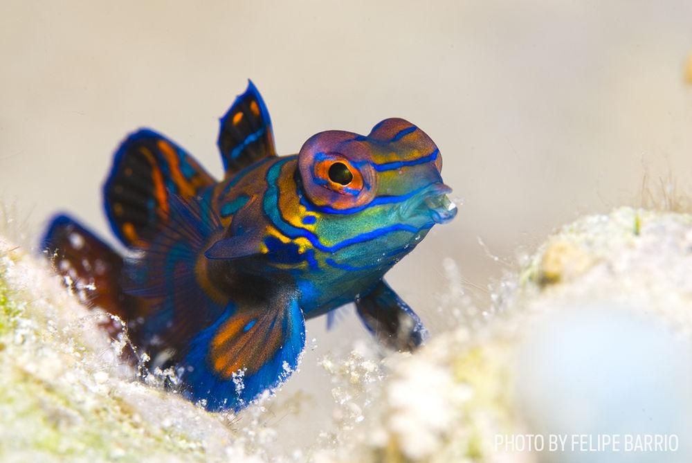 mandarinfish photo macro