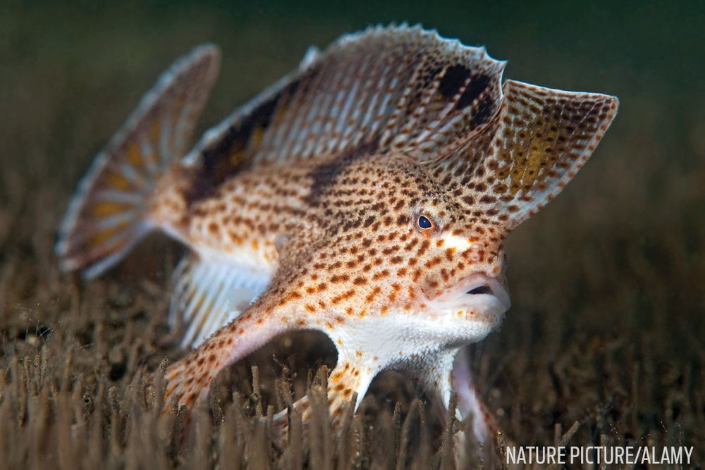 frogfish facts