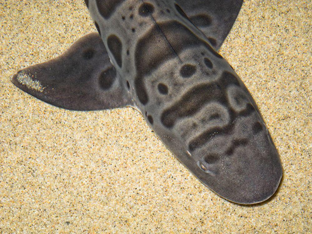 leopard shark resting
