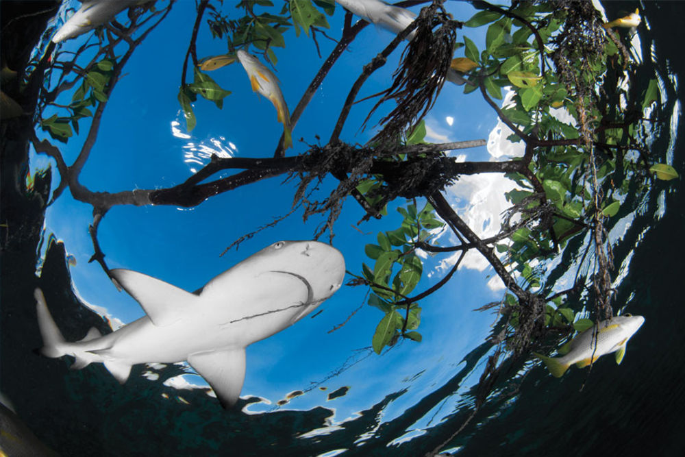Lemon Shark conservation