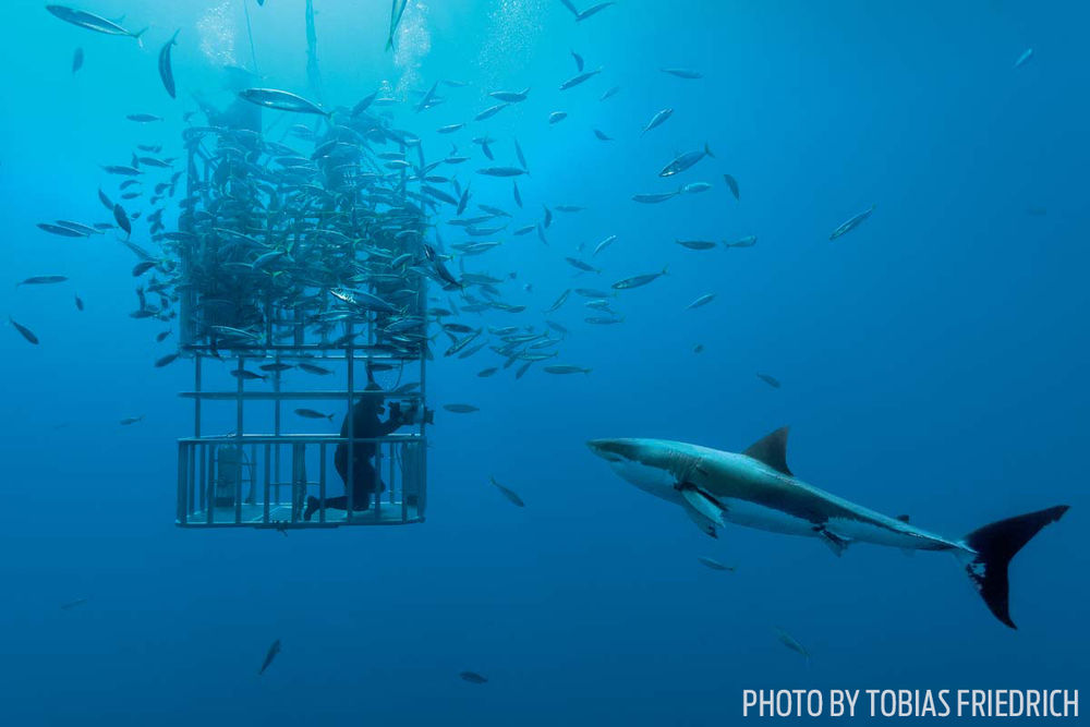 Great white shark mexico cage diving guadalupe