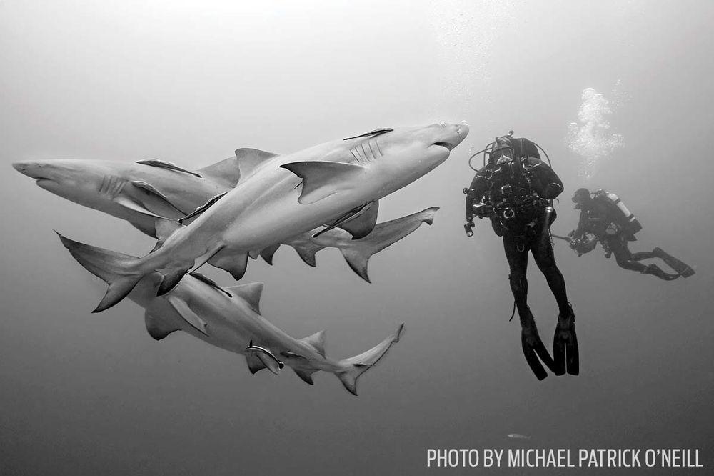 Lemon Sharks underwater jupiter photo