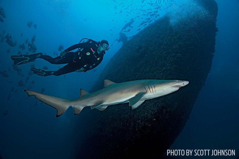 Tiger shark underwater scuba diving shipwreck