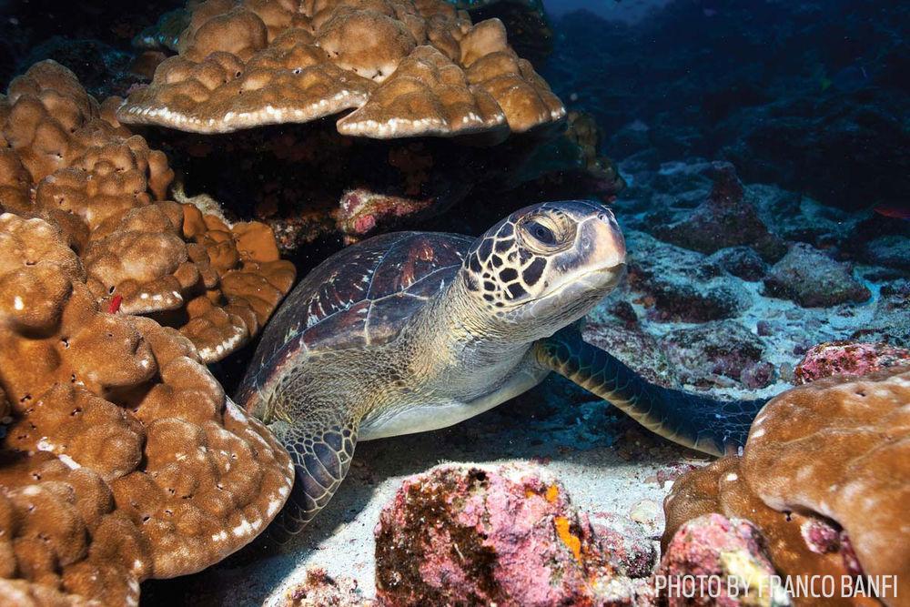 Sea turtle underwater Galapagos Islands