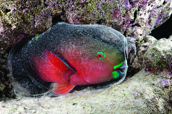 Parrotfish interesting facts sport diver for Parrot fish facts