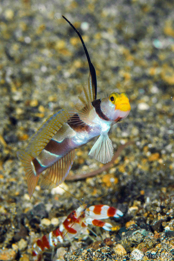 Reef encounters gobies sport diver for Saltwater goby fish