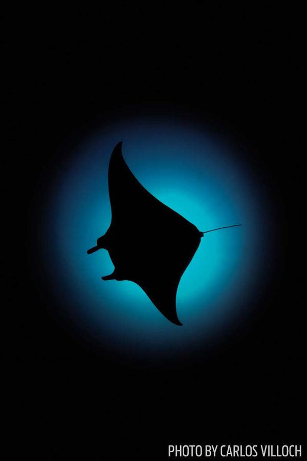Manta silhouette maldives underwater
