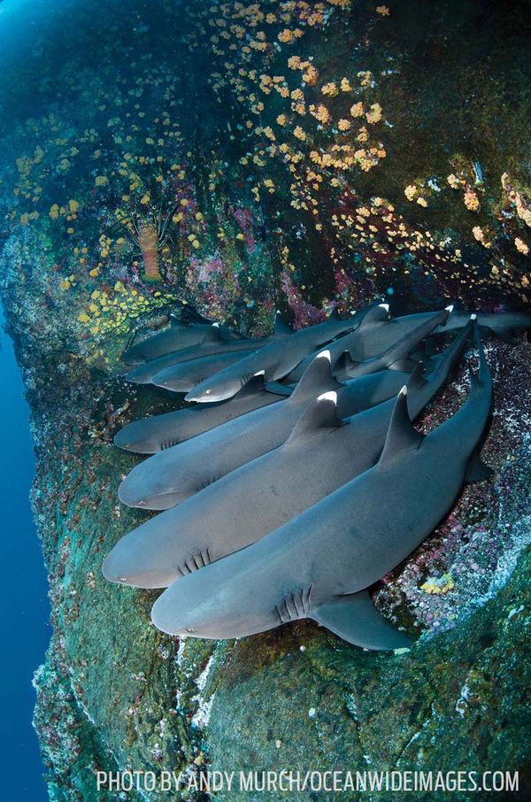 Whitetip reef sharks underwater mexico